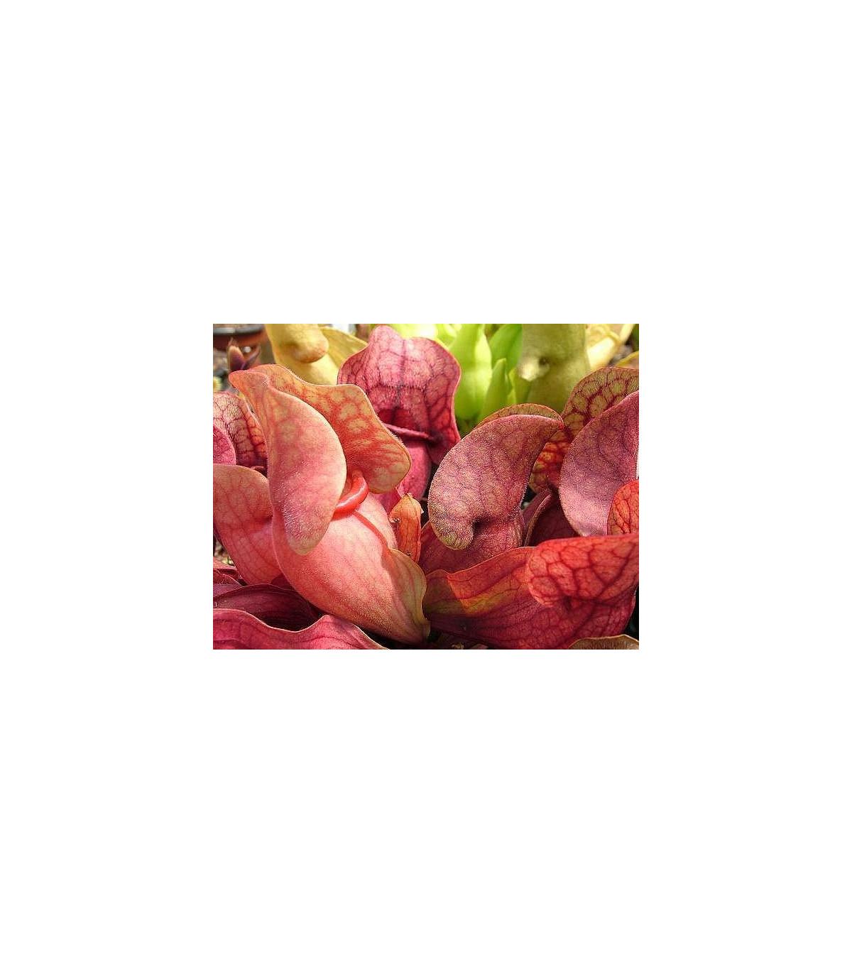 Špirlice nachová extra velká - Sarracenia purpurea - semena špirlice - 12 ks