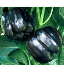 Paprika Fialová kráska - Capsicum annuum - semena - 9 ks