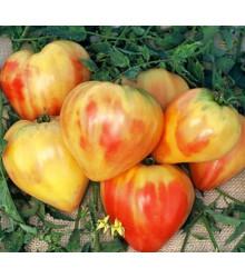 Rajče ruské oranžové - Lycopersicon esculentum - semena - 6 ks
