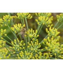 Fenykl obecný - Foeniculum vulgare - semena - 0,6 gr