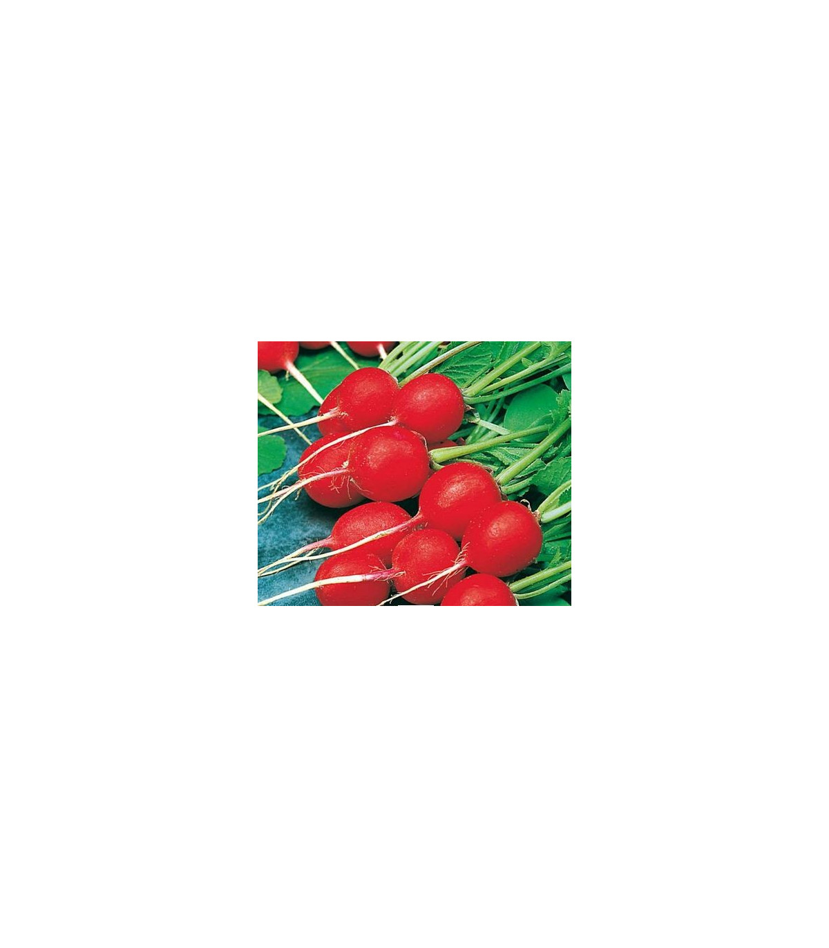 Ředkvička Ilka - prodej semen ředkvičky - Rahanus sativus - osivo - 50 ks