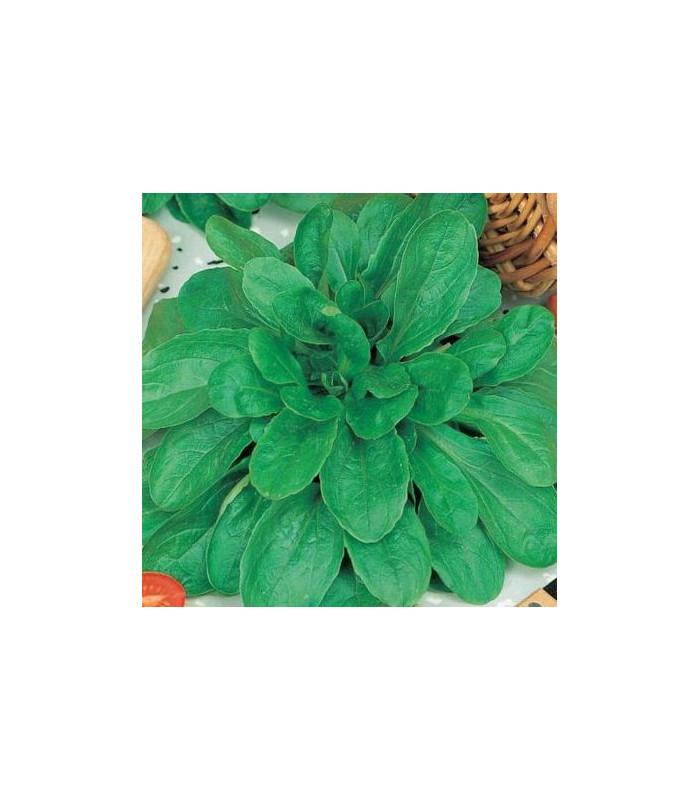 Kozlíček polní Holand - Vallerianella locusta - prodej semen - 100 ks