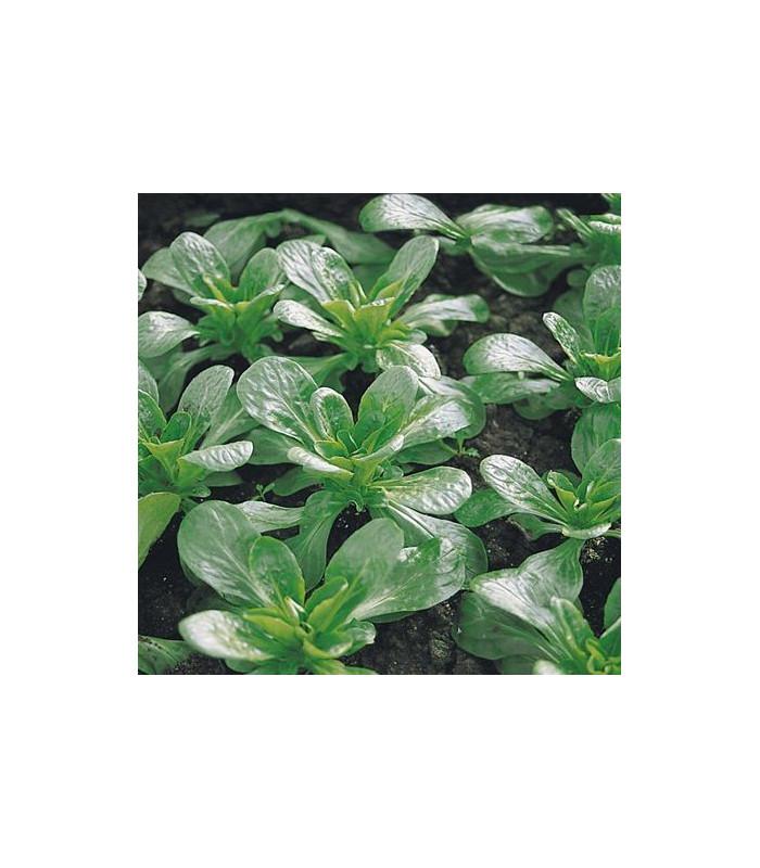Kozlíček polní Prager - Vallerianella locusta - prodej semen - 100 ks