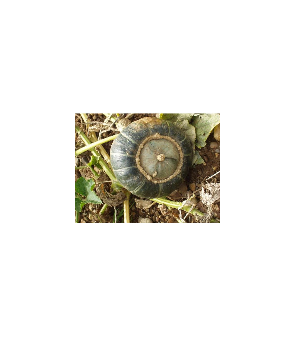 Tykev velkoplodá - rostlina Cucurbita maxima - prodej semen tykve - 10 ks