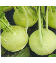 More about Kedluben extra jemný - Brassica oleracea - semena - 50 ks