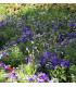 Letničky Zahradní sen v modrém - směs letniček - semena - 0,9 g