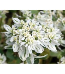 Pryšec vroubený - Euphorbia marginata - semena - 20 ks