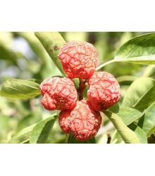 Kudranie - Cudrania tricuspidata - semena - 5 ks