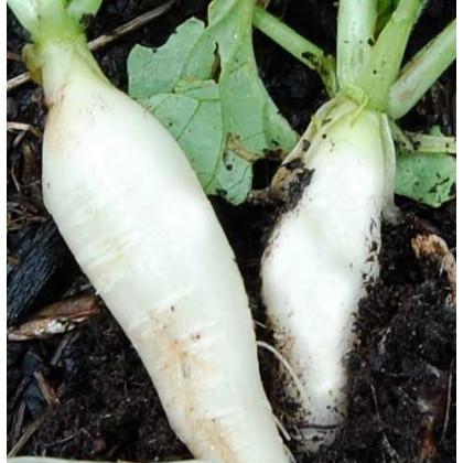 Ředkev bílá delikatesa - prodej semen ředkve - 60 ks