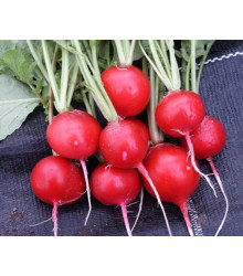 Ředkvička červená kulatá - Carnita - prodej semen ředkvičky - 50ks
