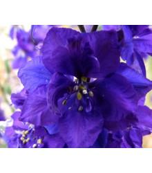 stračka - Delphinium × cultorum