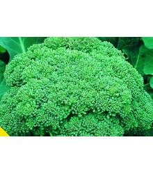 More about Brokolice Calabrese - Brassica oleracea - semena - 180 ks