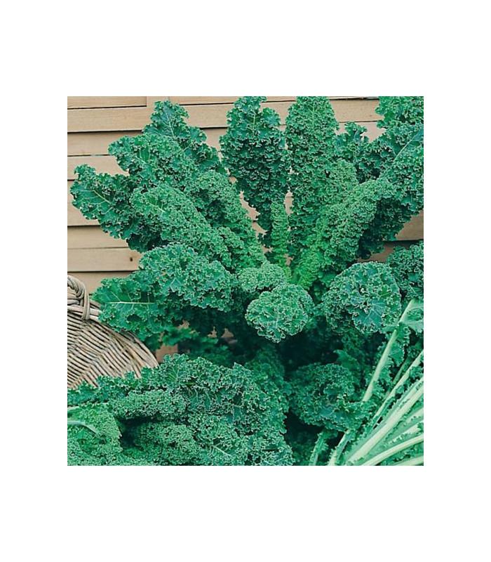 Kadeřávek zelený - semena kadeřávku - 0,9 gr