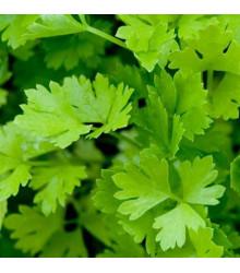 Celer řapíkatý - Apium graveolens - semena celeru - 1 g