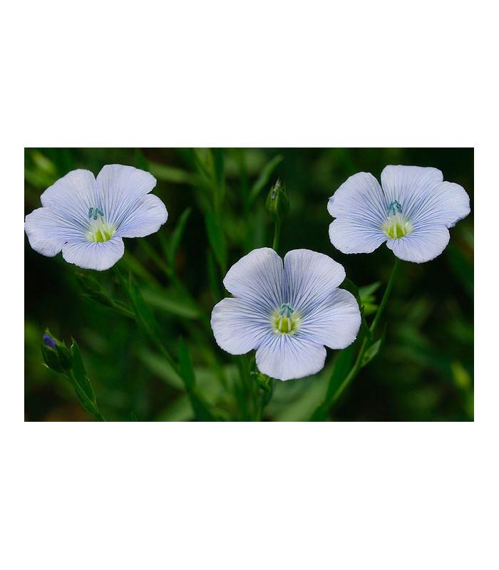 Len setý - Linum usitatissimum - lněné semena - 1 gr