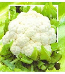 květák Brilant - Brassica oleracea var. botrytis Brilant