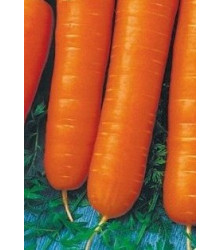 Mrkev karotka poloraná - Daucus carota - semena - 1,5 g