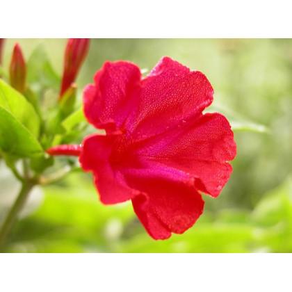 Nocenka jalapovitá červená - Mirabilis jalapa - semena - 1 g