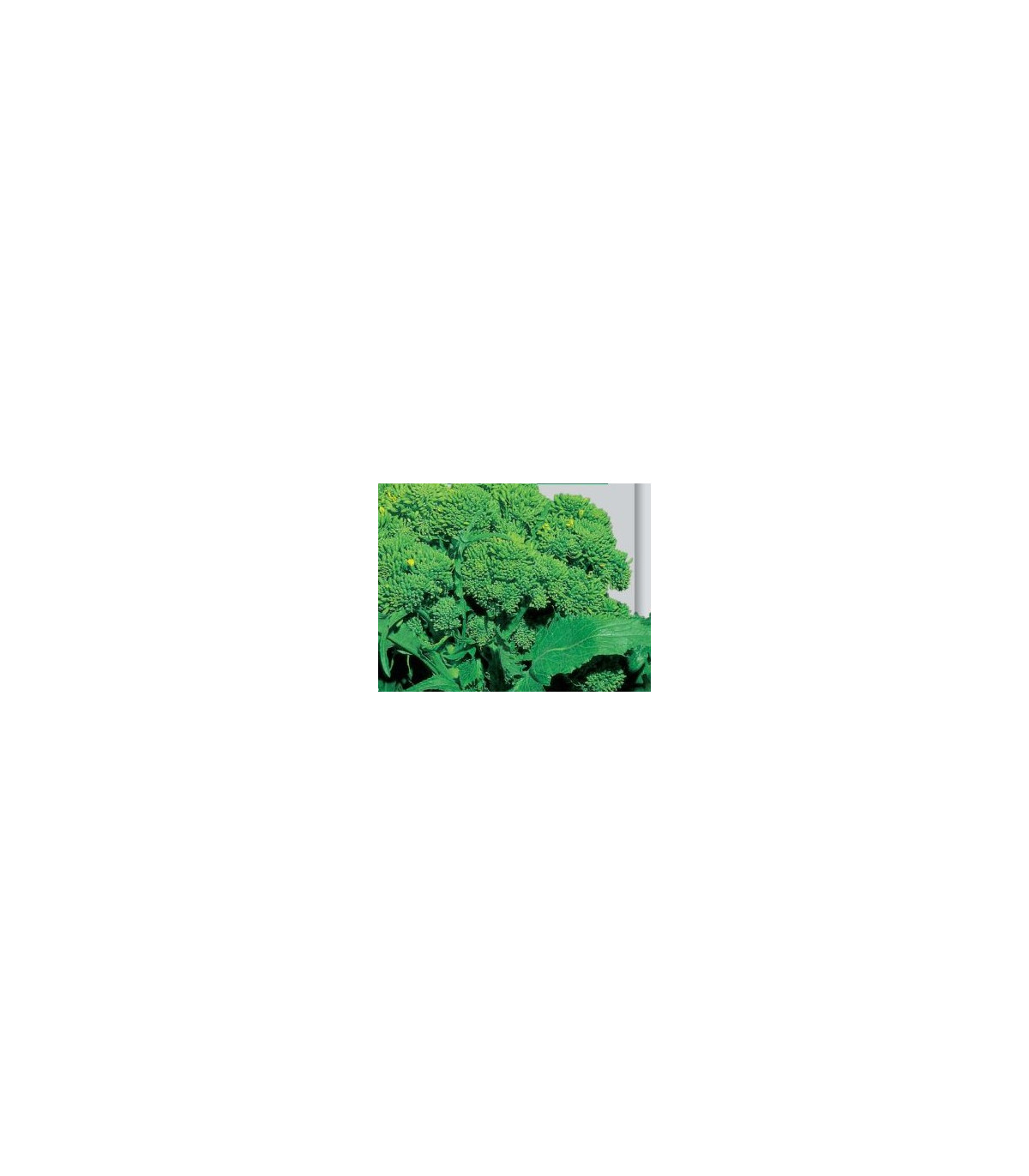 Brokolice Cezar - Brassica oleracea - semena brokolice - 0,6 gr