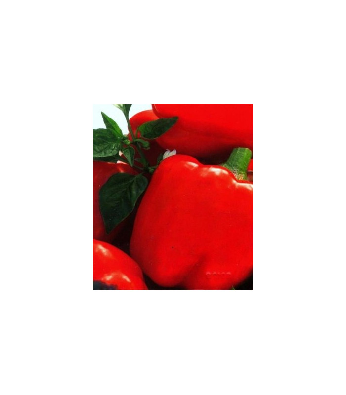 Paprike Merit - prodej semen papriky - Capsicum annuum - 20 ks