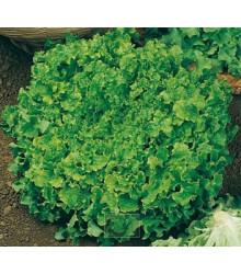 Salát k česání - Lactuca sativa - semena - 1 g