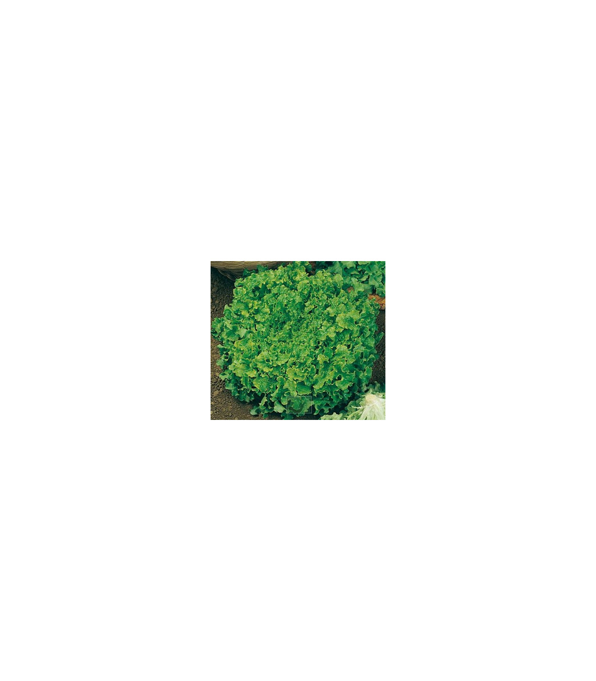 Salát hlávkový Maikönig - prodej semen salátu - Lactusa sativa - 1 gr