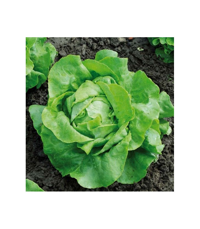 Salát hlávkový Nel - bio osivo salátu - Lactusa sativa - 0,1 gr