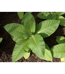Tabák Kentucky - Nicotiana tabacum - semena - 20 ks