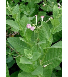 Tabák Green wood - Nicotiana tabacum - semena - 25 ks