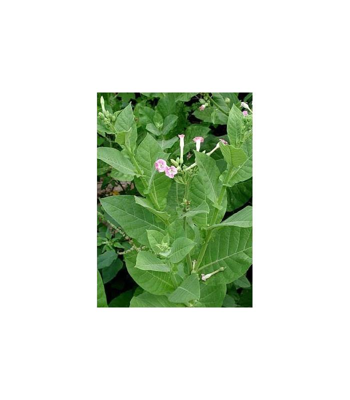 Tabák Green wood - Nicotiana tabacum - semena tabáku - 25 ks