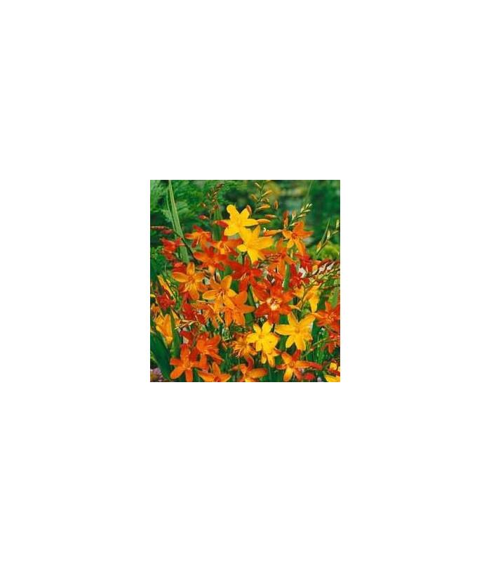 Montbrécie - Krokosmia mix barev - prodej holandských cibulek - 4 ks
