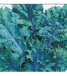 More about Kedluben červený ruský - Brassica oleracea - prodej semen - 0,5 gr