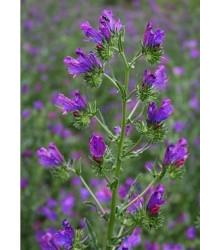 More about Hadinec jitrocelovitý - Echlum plantagineum - semena - 0,5 g