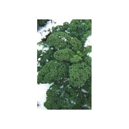 Kadeřávek zelený středně vysoký - semena kadeřávku -  0,9 gr
