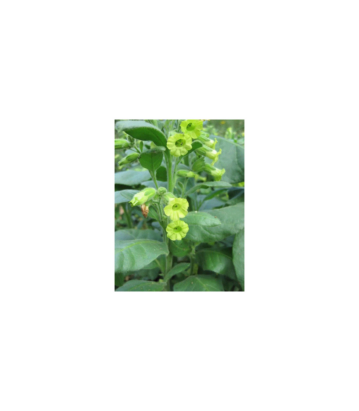 Tabák indiánský slavnostní - semena Nicotiana rustica sacred - 50 ks