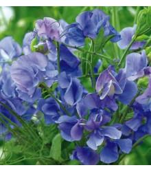 Hrachor vonný královský modrý - Lathyrus odoratus - semena - 20 ks