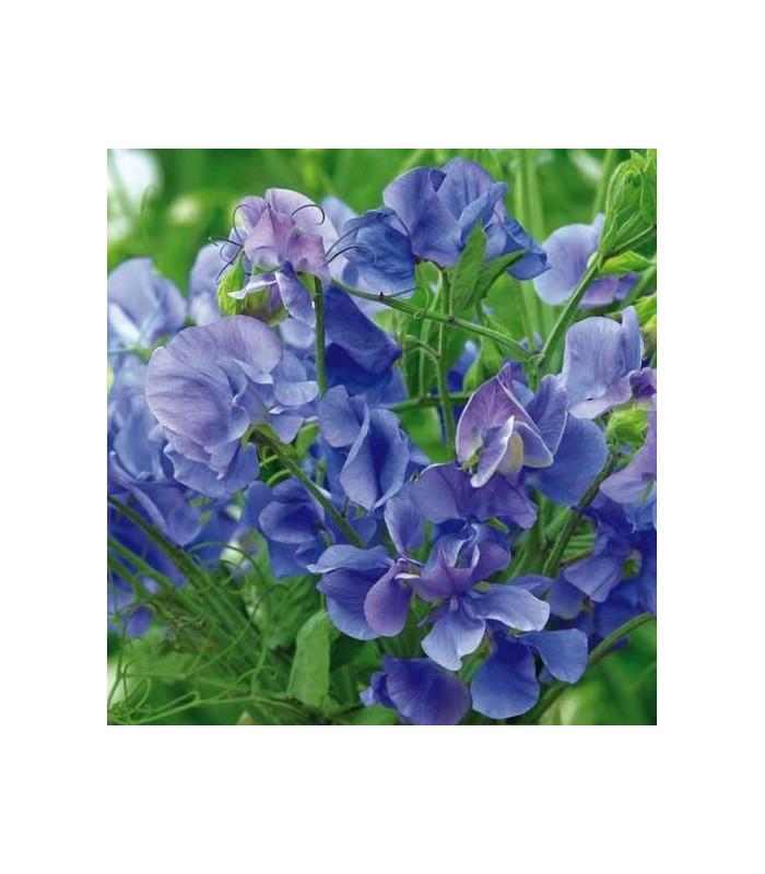 Hrachor pnoucí královský modrý - Lathyrus odoratus - semena hrachoru - 20 ks
