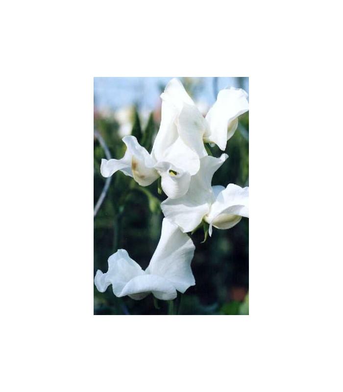Hrachor pnoucí královský bílý - Lathyrus odoratus - semena hrachoru - 20 ks