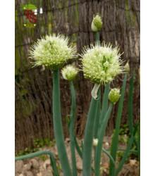 Cibule sečka - Allium fistulosum L. - semena - 1 g