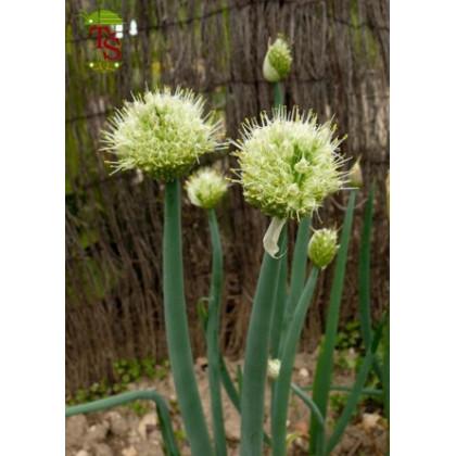 Cibule sečka - Allium fistulosum L. - semena cibule - 1 gr