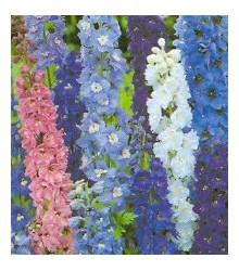 Stračka vyvýšená modré odstíny - Deplhinium cultorum - semena - 50 ks