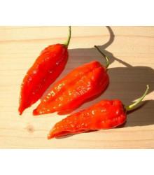 Chilli Dorset Naga - Capsicum chinense - semena - 6 ks