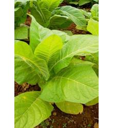 Tabák Burley - Nicotiana tabacum - semena - 20 ks
