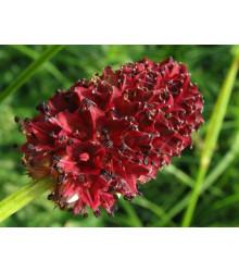 Krvavec toten - Sanguisorba officinalis - semena - 8 ks