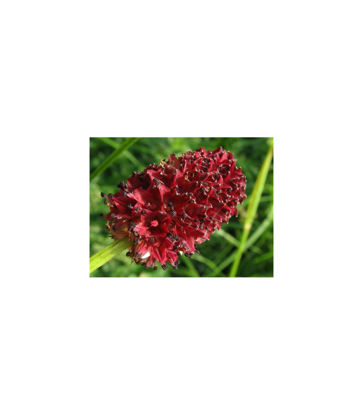 Krvavec toten - Sanguisorba officinalis - semena krvavce - 8 ks