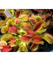 Mucholapka podivná Clumping - Dionaea muscipula - semena - 7 ks