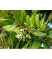 Pimentovník lékařský - rostlina Pimenta dioca - prodej semen - Nové koření - semínka - 4 ks