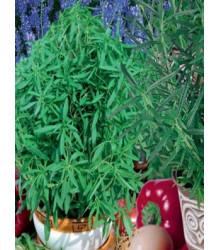 Semena koření do Vaší kuchyně - semena - 0,5 gr