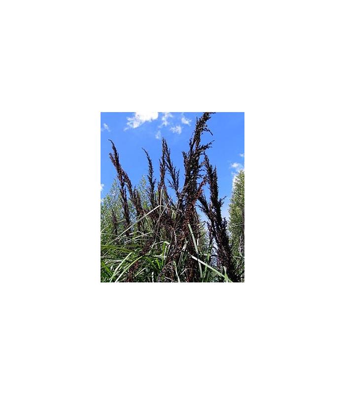 Ozdobný rákos Gahnia trifida - prodej semen ozdobného rákosu - 10 ks