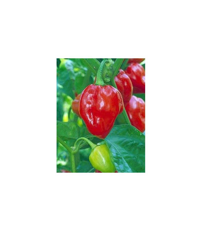 Chili- Karibské červené- semena Chili- 6 ks